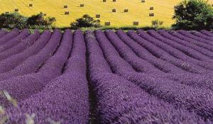 Lavender fields forever (Fair)   Agraria