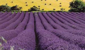 Lavender fields forever (Fair) | Agraria