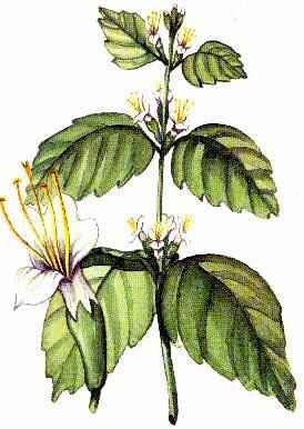 Patchouli botanical print  (fair) | Agraria