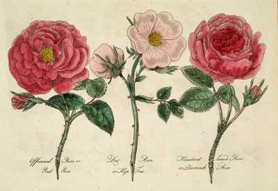 Damask Rose Botanical Print   AGRARIA