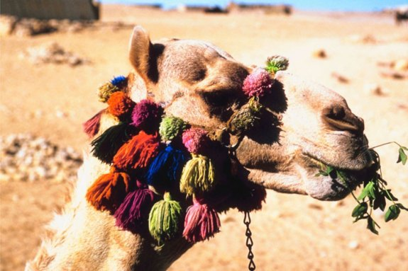 Camel with tassel harness   AGRARIA